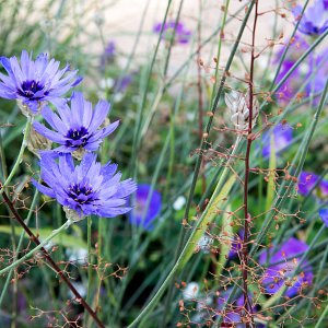 Penrith: catananche